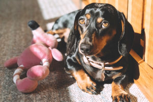 Ruby the Miniature Dachshund